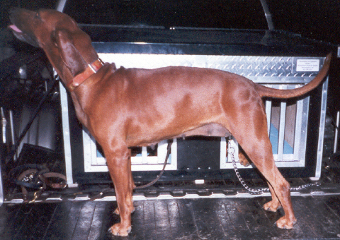 1998 UKC World Champion Redbone ~ Queen
